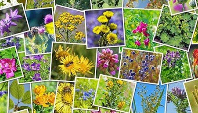 Dünyadaki Tıbbi Aromatik Bitkilerin Yüzde 6'sı Ülkemizde